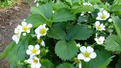 Jordbaerplante i blomst